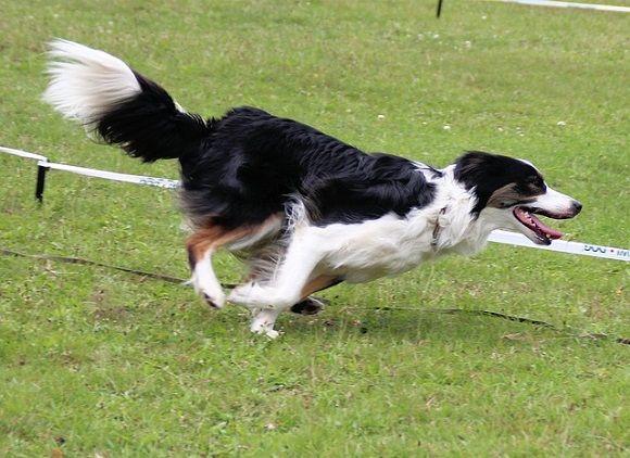 perro ágil